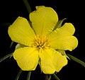 Hibbertia huegelii - Flickr - Kevin Thiele.jpg