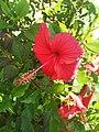 Hibiscus 12.jpg