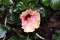 Hibiscus rosa-sinensis Harry Boris 2zz.jpg