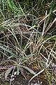 Hieracium frigidum = Hieracium argentinense (Asteraceae) (45613361374).jpg