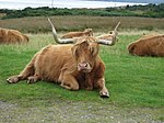 File:Highland Cow (2789804565).jpg