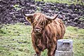 Highland cattle - panoramio (2).jpg