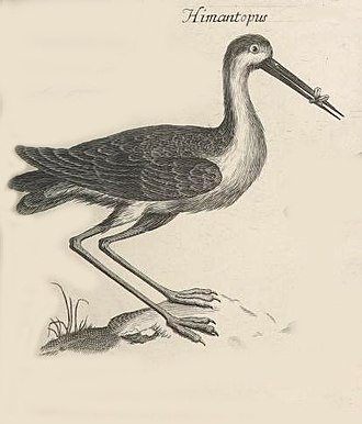 """Francis Willughby - In South Wales, Willughby and Ray saw a rare black-winged stilt shown here in the Ornithologiae Libri Tres as """"Himantopus""""."""
