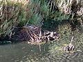 Himantopus himantopus nest and eggs.JPG