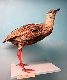 Himantornis haematopus - Royal Museum for Central Africa - DSC06831.JPG