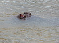 Hippo (Hippopotamus amphibius) nostrils (14037860633).jpg