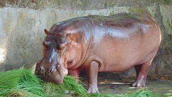 Hippo on a sunny day.jpg