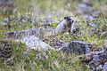 Hoary Marmot Juveline (2) - Marmota caligata (21459314056).jpg