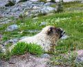 Hoary marmot (Marmota caligata) - Flickr - brewbooks.jpg