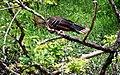Hoatzin (Opisthocomus hoazin).jpg