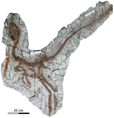 Holotype of Sinocalliopteryx gigas.png