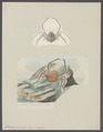 Homola cuvierii - - Print - Iconographia Zoologica - Special Collections University of Amsterdam - UBAINV0274 095 24 0005.tif