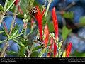 Honey Bee (top; Apidae, Apis mellifera) and Honey Wasp (Vespidae, Brachygastra mellifica) (30532134822).jpg