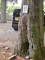Honeycomb in hole of tree of Ōmiya Sengen Jinja - 1.jpg