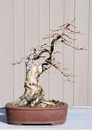 Honeysuckle bonsai 2-3-08.jpg