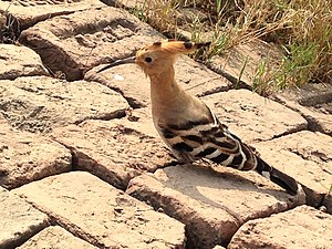Hoopoe and bricks.jpg