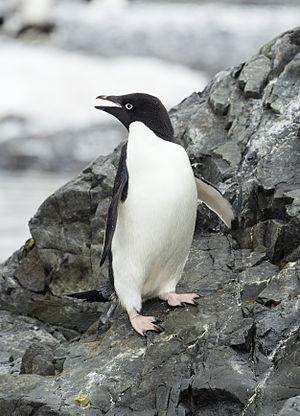 Adélie penguin - Image: Hope Bay 2016 Trinity Peninsula–Adélie penguin (Pygoscelis adeliae) 04