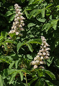 Horse chestnut flowers in Brodalen 1.jpg