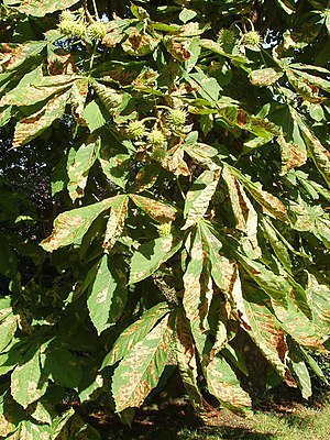 English: Horse chestnut tree with leaf miner d...