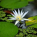 Hortus Botanicus Leiden Water lily (33920088910).jpg