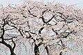 Hoshoji shidare-zakura 2008 01.jpg
