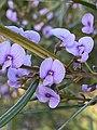 Hovea linearis flowers.jpg