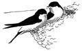 Huiszwaluw Delichon urbica Jos Zwarts 22.tif