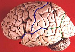Human brain lateral view description.JPG