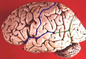 Central sulcus - Image: Human brain lateral view description