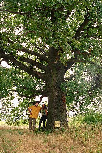 Quercus frainetto - Image: Hungarian oak 2