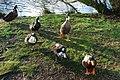 Hwyaid Llyn Mair Ducks - geograph.org.uk - 631940.jpg
