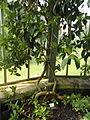 Hydrangea serratifolia - Palmengarten Frankfurt - DSC01943.JPG