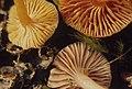 Hygrophorus coccineus and 2 colour forms of Hygrophorus laetus, Gelli Draws coaltip, Pontypridd, 1 November 1971 (31021770765).jpg