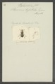 Hylopemon - Print - Iconographia Zoologica - Special Collections University of Amsterdam - UBAINV0274 031 03 0009.tif