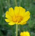 Hymenoxis acaulis flower.jpg