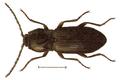 Hypnoidus depressus.png