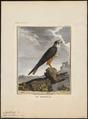 Hypotriorchis subbuteo - 1700-1880 - Print - Iconographia Zoologica - Special Collections University of Amsterdam - UBA01 IZ18200177.tif