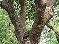 IMG 2155 - Mora oleifera - Alcornoque 03.jpg