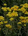 IMG 3832-Helichrysum arenarium.jpg