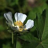 IMG 9998-Kitaibela vitifolia.jpg