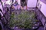 ISS-56 Arabidopsis plants inside the Advanced Plant Habitat (3).jpg