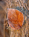 Ice on brown leaf.jpg