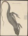 Iguana nudicollis - 1700-1880 - Print - Iconographia Zoologica - Special Collections University of Amsterdam - UBA01 IZ12800059.tif