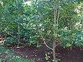 Ilex paraguariensis at Buenos Aires Botanical Garden.jpg