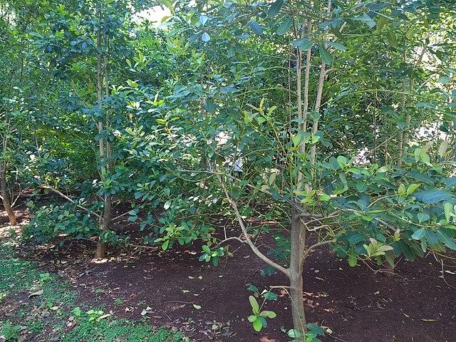 File:Ilex paraguariensis at Buenos Aires Botanical Garden.jpg ...