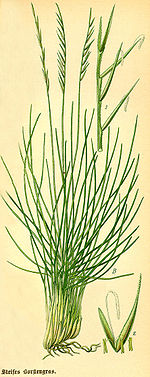 Illustration Nardus stricta0.jpg