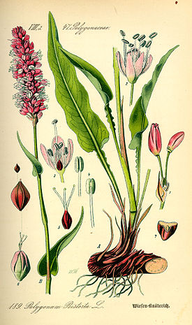 Illustration Polygonum bistorta0.jpg