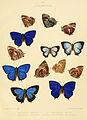 Illustrations of diurnal Lepidoptera British Museum Catalogue II.jpg