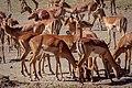 Impala, Ol Pejeta Conservancy, Kenya (32921970948).jpg