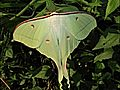 Indian Moon Moth - Actias selene (Hübner,1807).jpg